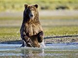 Grizzly Bear Along Spawning Salmon Stream  Kinak Bay  Katmai National Park  Alaska  Usa