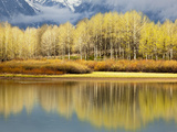 Aspen Stand and Reflection in Early Spring  Grand Teton National Park  Wyoming  Usa
