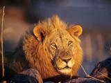 Close-Up Portrait of Male Lion (Panthera Leo)  Mwagusi Camp  Ruaha National Park  Tanzania