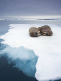 Walrus (Odobenus Rosmarus) on Sea Ice Near Langoya Island  Svalbard  Norway