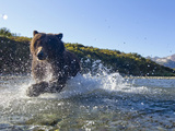 Grizzly Bear Runs after Spawning Salmon in Stream  Kinak Bay  Katmai National Park  Alaska  Usa