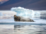 Bearded Seal Resting on Sea Ice Along Lomfjorden at Sunset  Spitsbergen Island  Svalbard  Norway