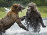 Grizzly Bears Fighting in Salmon Stream  Geographic Harbor  Katmai National Park  Alaska  Usa