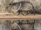Adult Reflected in Pond  Pecari Tajacu  Collared Peccary  Starr Co  Texas  Usa