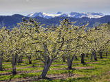 Apple Orchard in Bloom  Dryden  Chelan County  Washington  Usa