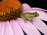 Squirrel Tree Frog (Hyla Squirella) on Echinacea Flower  Central Florida Backyard  Usa