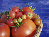 Heirloom and Hybrid Tomatoes in Year-Round Greenhouse  Hills of Central Serbia