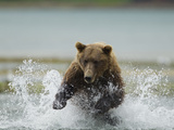 Grizzly Bear Chases after Spawning Salmon  Geographic Harbor  Katmai National Park  Alaska  Usa