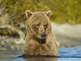 Grizzly Bear Sow Swimming in Salmon Spawning River  Kukak Bay  Katmai National Park  Alaska  Usa