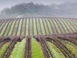 Vineyard in Winter  Asti  Russian River Wine Country  Northern California  Usa