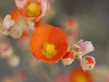 Globemallow or Apricot Mallow  Mojave National Preserve  California  Usa