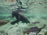 Grizzly Bear Swimming after Spawning Salmon in Kuliak Bay  Katmai National Park  Alaska  Usa