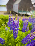 Lupines Bloom in Front of a Historic Fish Cannery in Lubec  Maine  Usa
