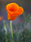 Poppy Close Up  Antelope Valley Near Lancaster  California  Usa