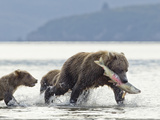 Grizzly Bear Sow Catches Salmon from Stream Along Kukak Bay  Katmai National Park  Alaska  Usa