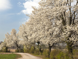 Crabapple Trees in Full Bloom  Louisville  Kentucky  Usa