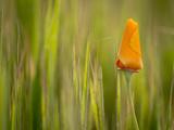California Poppy in Grass  Paso Robles  California  Usa