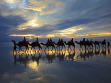 Tourist Camel Train on Cable Beach at Sunset  Broome  Kimberley Region  Western Australia