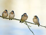 Barn Swallows  Stanley Park  British Columbia  Canada