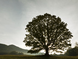 Single Tree at Sunrise  Cades Cove  Great Smoky Mountains National Park  Tennessee  Usa