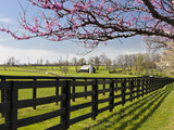 Redbud Trees in Full Bloom  Lexington  Kentucky  Usa