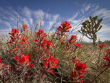 Desert Paintbrush Blooming in Front of Joshua Tree  Mojave National Preserve  California  Usa