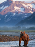 Grizzly Bear Standing in Salmon Spawning Stream  Kukak Bay  Katmai National Park  Alaska  Usa