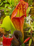 Pitcher Plants in a Bog Near Lubec  Maine  Usa