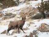 Big Horn Sheep Graze in the Gros Ventre Range  Jackson Hole  Wyoming  Usa
