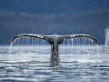 Humpback Whale Tail While Diving in Frederick Sound  Tongass National Forest  Alaska  Usa