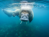 Underwater View of Walrus Swimming in Shallows Near Langoya Island  Svalbard  Norway