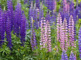 Lupine Wildflowers Near Lubec  Maine  Usa