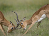 Impala Sparring in Tall Grass Savuti Marsh During Rainy Season  Chobe National Park  Botswana