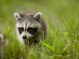Young Raccoon Walking in Grass  Summer Evening  Assateague Island National Seashore  Maryland  Usa