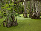 Cypress Trees Growing in Swamp with Duckweed  Merchants Millpond State Park  North Carolina  Usa