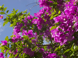 Morning Sun Lights Bougainvillea Flowers Inside Fort Jesus  Mombasa  Kenya