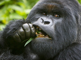 Silverback Mountain Gorilla  Volcanoes National Park  Virungas  Charles  Rwanda