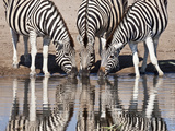 Zebras Reflected in a Water Hole  Etosha National Park  Namibia  Africa