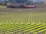 Vineyards in Winter  Yountville  Napa Valley Wine Country  Northern California  Usa