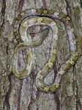 Yellow Rat Snake  Captive  the Orianne Indigo Snake Preserve  Telfair County  Georgia  Usa