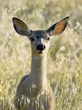 Mule Deer  Odocoileus Hemionus  Ucsc Campus Natural Reserve  Santa Cruz  California  Usa
