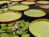 Water Lily and Lily Pad Pond  Longwood Gardens  Pennsylvania  Usa