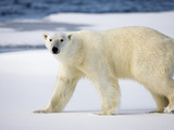 Polar Bear Walking on Snow-Covered Iceberg  Spitsbergen Island  Svalbard  Norway