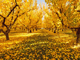 Fruit Trees Shed their Leaves after Harvest in Washington's Yakima Valley  Washington  Usa
