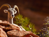 Desert Bighorn Sheep  Zion National Park  Utah  Usa
