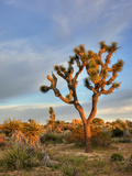 Joshua Tree at Sunrise  Joshua Tree National Park  California  Usa