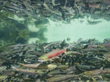 Underwater View of Spawning Salmon Near Kuliak Bay  Katmai National Park  Alaska  Usa