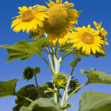 Sunflowers and Blue Sky  Portsmouth  New Hampshire  Usa
