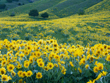 Arrowleaf Balsamroot in Bloom  Foothills of Bear River Range Above Cache Valley  Utah  Usa