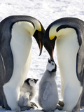 Emperor Penguin (Aptenodytes Forsteri) Chicks on Parents&#39; Feet on Ice  Snow Hill Island  Antarctica